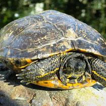 Draped turtle