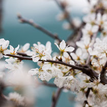Cherrie blossoms.