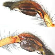 Bulbus von Cheiracanthium erraticum - zwei Ansichten