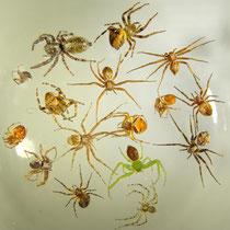16 gelähmte Spinnen in einem geöffneten Lehmtöpfchen