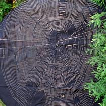 Radnetz einer Kreuzspinne