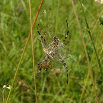 Wespenspinne Männchen und Weibchen