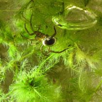 Wasserspinne unter der Luftglocke im Netz