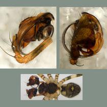 Labulla: Männchen 2  Ansichten vom Bulbus
