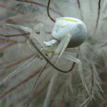 grüne Huschspinne Weibchen