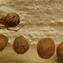 aus Südamerika eingewanderte Kugelspinne: Weibchen von Parastoda temporaria mit Kokon