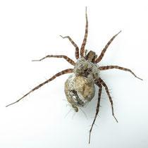 Wolfspinne mit schlüpfenden Spinnen