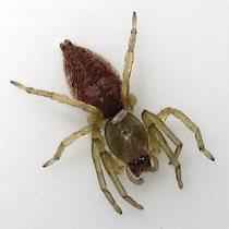 parasitische Wespenlarve an einer Sackspinne. Typischer Sitz zwischen Vorder- und Hinterkörper