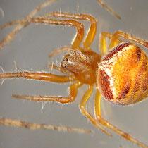 eine dieser Spinnen: Araneus triguttatus - eine Kreuzspinne