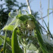 Kokon mit Jungspinnen von Dolomedes