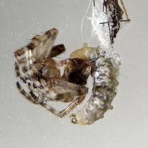 Zatypota; herangewachsene Larve frisst Spinne auf. Gut zu erkennen die Auswüchse am Rücken, mit denen sich die Larve im Spinnennetz bewegt.