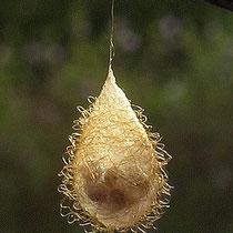 Spinnenfresserspinne Ero - im  Kokonerkennt man die Eier