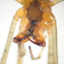 Sechsaugenspinne Gattung Dystera - Kieferklauen
