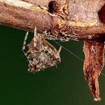 Spinnenfresserspinne Gattung Ero