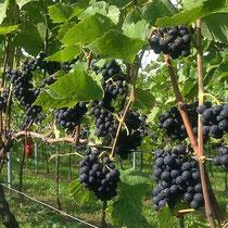 Spätburgunder-Trauben für unseren Herrenpfad Lagenwein