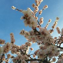 Die Pfälzer Mandelblüte