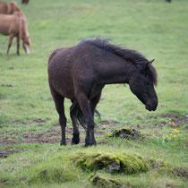 """Islandpferde - beherrschen den """"Tölt"""", die 4. Gangart"""
