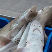 Catania - kleine Haifische - frisch auf den Tisch.