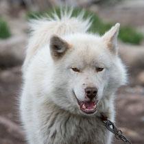 Sisimiut - nur nördlich des Polarkreises dürfen Schlittenhunde gehalten werden