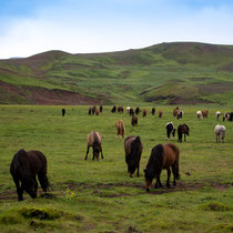 Eine Herde Islandpferde - andere Pferderassen sind auf Island nicht erlaubt