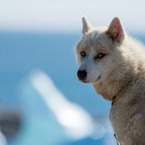 Qeqertarsuaq - Schlittenhunde