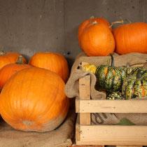Halloween-Kürbis und Zierkürbis Verkauf - September 2017