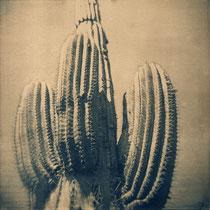Cactus, Argentine,2010