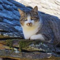 Chat sur toit de lauze en Aveyron