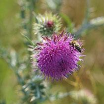 Biene auf Blüte der Nickenden Distel, Bereich A Hafen, Aufnahme-Datum: 22.06.2019