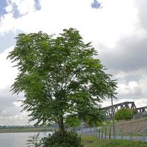 Ailanthus altissima im Sommerhabitus. s.o., Bereich A Hafenmauer, Aufnahme-Datum: 25-09.2018