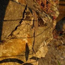 Mauereidechse in der Abendsonne, mit frdl. Genehmigung von Heike Marianne Liwa, Aufnahme-Datum: 03.07.2019 gegen 20.00 Uhr