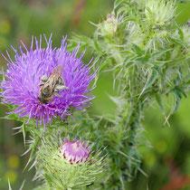 Biene auf Blüte der Sumpfkratzdistel, Bereich D Rheinaue, Aufnahme-Datum: 16.06.2019