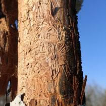 Schadbild durch Käferbefall an Sorbus thuringiaca Fastigiata. Der Befall führte zum  Absterben des Hochstammes, Aufnahme-Datum: 05.03.2021