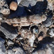 Blauflügelige Ödlandschrecke mit angepasster Farbe zu dem Lebensraum Schotterfläche, Bereich D Rheinaue, Aufnahme-Datum: 04.07.2019