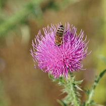 Biene auf Blüte der Kratzdistel, Bereich D Rheinaue, Aufnahme-Datum: 22.06.2019