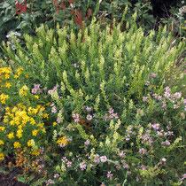 Reseda lutea, Hypericum perforatum, Coronilla varia, Bereich D, Rheinaue, Aufnahme-Datum: 21.06.2015