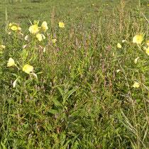 Oenonthera spec; Persicaria lapathifolia, Bereich D Rheinaue,  Aufnahme-Datum: n.b.