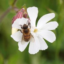 Biene auf Lichtnelke, Bereich A Hafen, Aufnahme-Datum: 26.05.2019