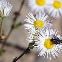 Schmarotzerfliege auf Blüte von Einjährigem Berufkraut, Bereich D Rheinaue, Aufnahme-Datum: 22.07.2019