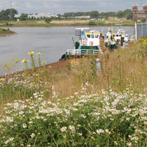 Oenonthera spec, Tanacetum vulgare, Cirsium arvense, Bereich A Hafenmauer,   Aufnahme-Datum: 19.06.2010