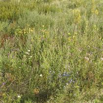 Artemisia vulgaris, Oenonthera biennis, Cirsium arvense, Rumex thyrsiflorus, Echium vulgare, Bereich D Aufnahme-Datum: n.b.