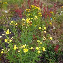 Oenothera spec., Nachtkerze, Bereich A Hafen,  Aufnahme-Datum: 21.06.2015
