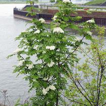 Sorbus aucuparia, Vogelbeere, Bereich A Hafen,  Aufnahme-Datum: 27.04.2019