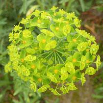 Euphorbia esula, Eselswolfsmilch, Bereich C (Rheinaue) Aufnahme-Datum: 16.04.2019