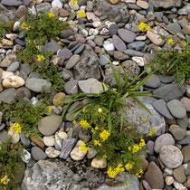Rorippa sylvestris, Wilde Sumpfkresse, Bereich D Rheinaue,  Aufnahme-Datum: 20.07.2009