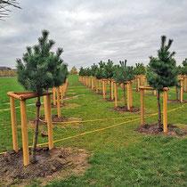 Gepflanzte Kiefernbäume, Aufnahme-Datum 31.10.2020