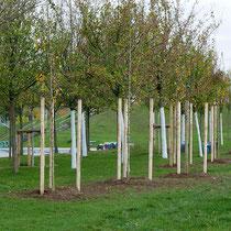 Nachgepflanzte Feldahorn-Bäume, Aufnahme-Datum 27.10.2020