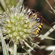 Bienenwolf auf Blüte von Feldmannstreu, Bereich D Rheinaue, Foto Günter Abels, Aufnahme-Datum: 09.08.2019