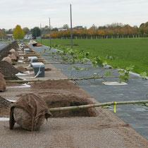 Platanen Bereitlegung für die Pflanzung, Aufnahme-Datum: 31.10.2020