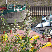 Prunus padus, Traubenkirsche, Bereich A Hafen, Aufnahme-Datum: n.b.